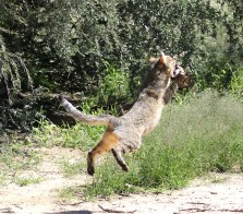Wildcat in action