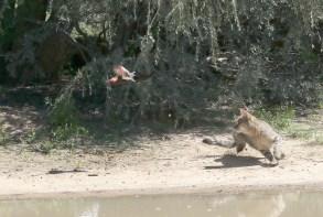 Wildcat in attack mode
