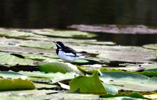 African Pied Wagtail - Jenny Stead