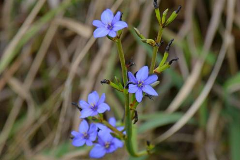 Aristea sp. 2 -Dave Rimmer