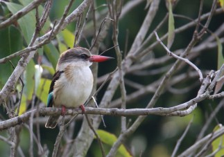 Brown-hooded kingfisher - John Bremner