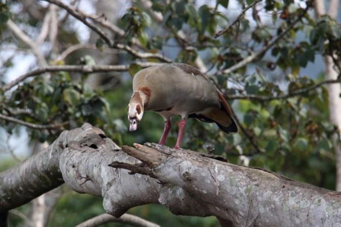 Egyptian Goose - John Bremner