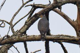 Little Sparrowhawk - Dave Rimmer