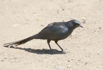 Meve's Starling