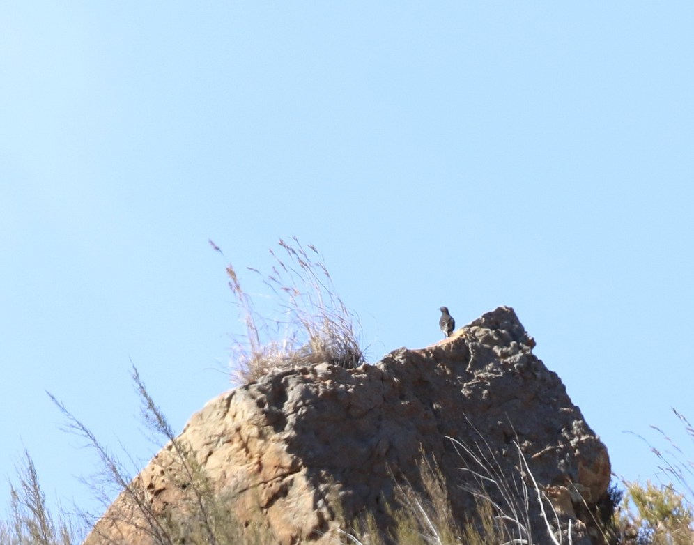 Mountain Wheatear