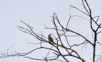 Little Sparrowhawk- Jenny Stead