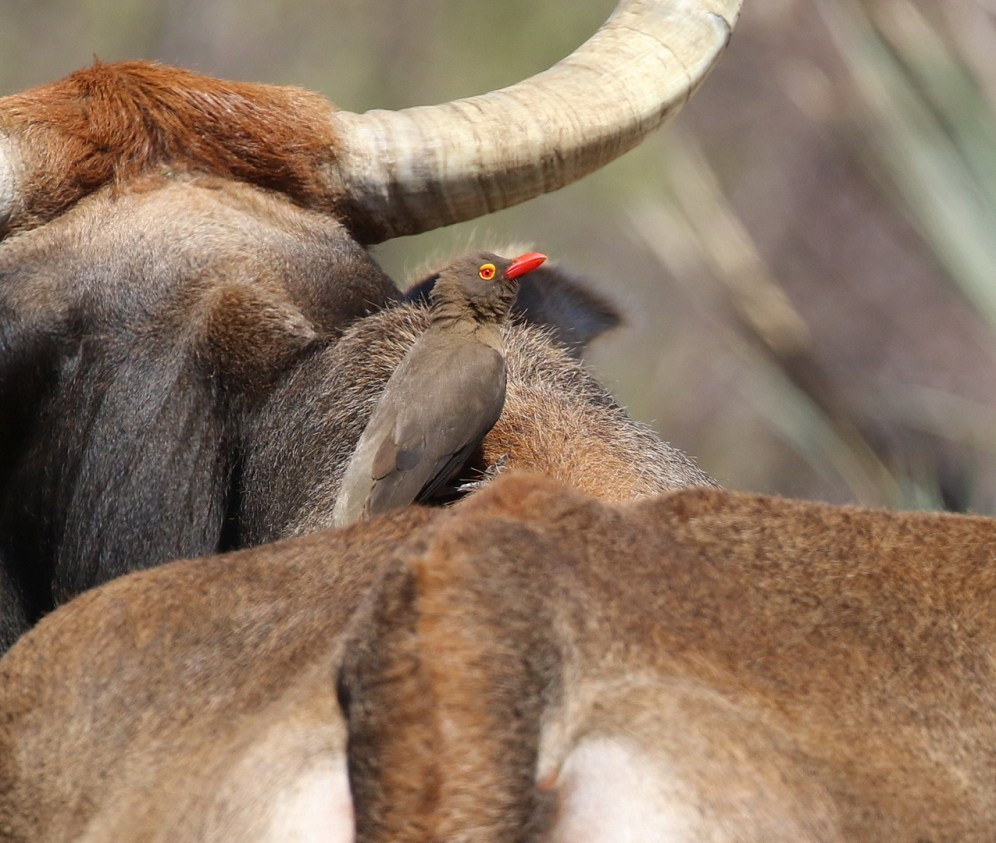 Red-billed Oxpecker on back of - yes - a cow.