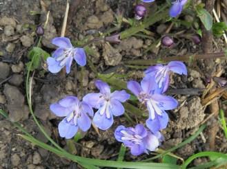 Rotheca hirsu- tum (Wild Violet) Sandi du Preez
