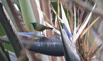 Collared Sunbird - Jenny Stead