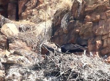Verreaux's Eagle and juvenile