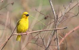 Eastern Goldern Weaver (aks Yellow Weaver) with nesting material - John Bremner