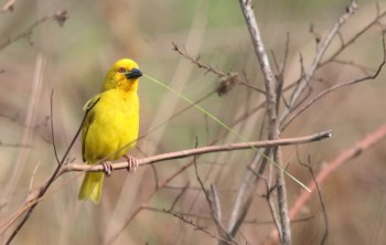 Eastern Goldern Weaver (aks Yellow Weaver) with nesting material - John Bremner