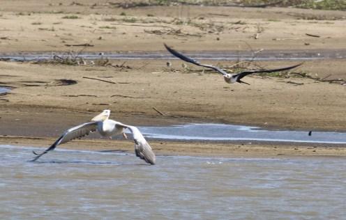 Lesser Frigatebird chasing Pink-backed Pelican