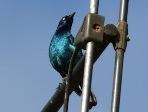 Cape Glossy Starling - Mick Jackson