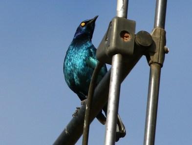 Cape Glossy Starling - Mick Jackson