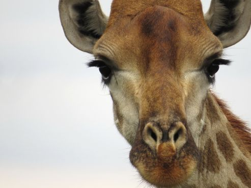 Giraffe and her lucious eyelashes