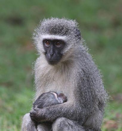 Vervet Monkey - David Swanepoel