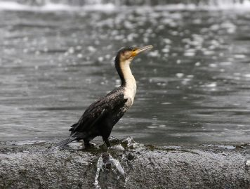 White-breasted Cormorant - Mick Jackson