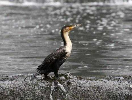 White-breasted Cormorant - Mick Jackson