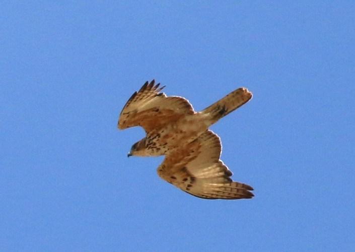African Hawk-Eagle juvenile