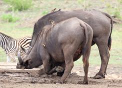 Buffalo kneeling with both Oxpeckers attached