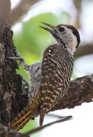 Cardinal Woodpecker female