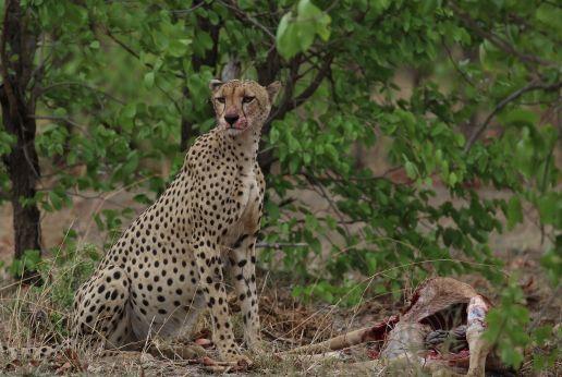 Cheetah and carcass