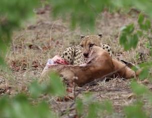 Cheetah just one more bite