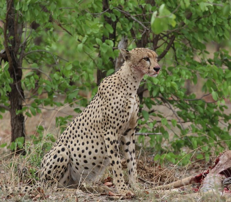 Cheetah with rather extended stomach