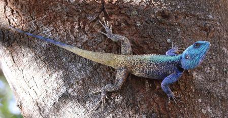 Colourful Lizard