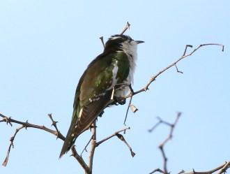 Diderick's Cuckoo