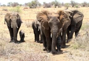Elephant family getting too close