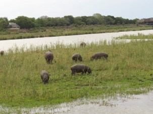 Hippo youngsters out of the water
