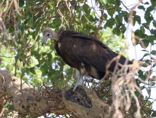 Hooded Vulture juvenile