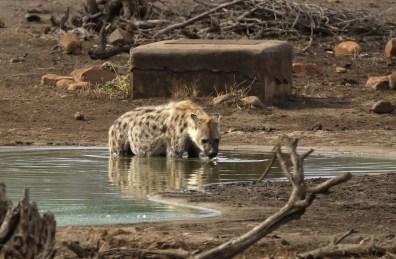 Spotted Hyena bathtime