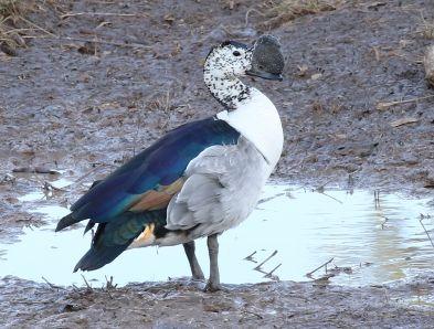 Knob-billed Duck male