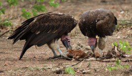 Lappet-faced Vultures - yum yum