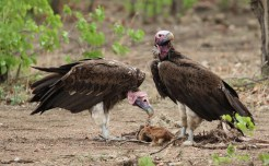 Lappet-faced Vultures- nothing's coming