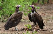 Lappet-faced Vultures - we are made for each other