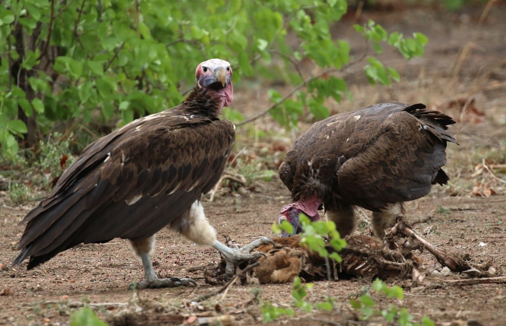 Lappet-faced Vultures. Look at the size of its claw