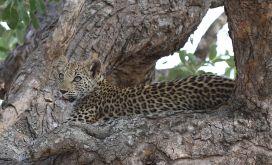 Leopard cub. I'm cool