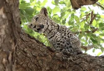 Leopard cub. I'm off