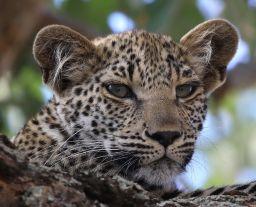 Leopard cub. I'm watching you