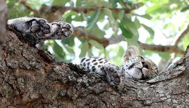 Leopard cub feet up time