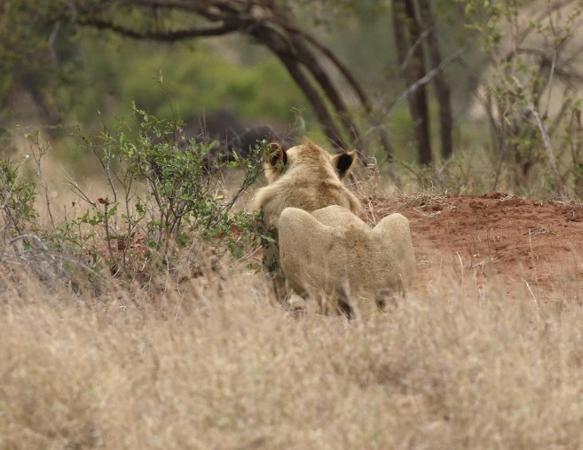 Lioness waiting patiently to strike