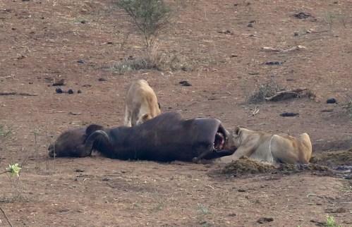 Lions at Buffalo kill