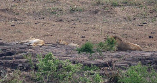 Lions recuperating