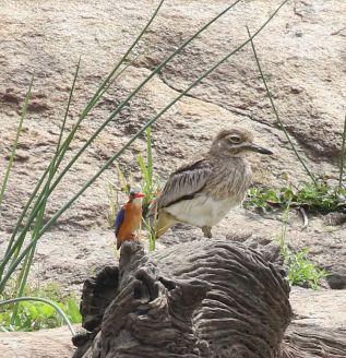 Malachite Kingfisher cf Water Thick-knee