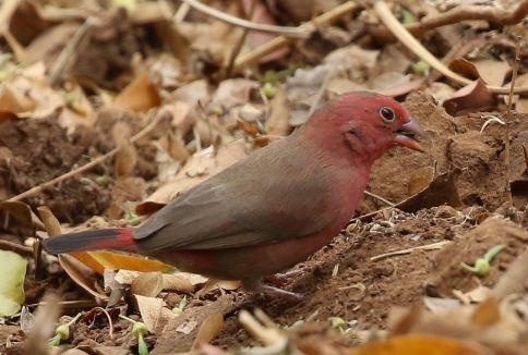 Red-billed Firefinch