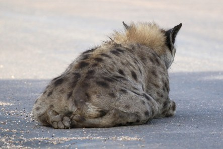 Spotted Hyena relaxing with its back feet well tucked in